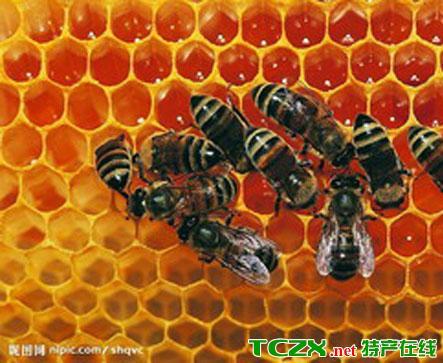 金佛山中华蜜蜂