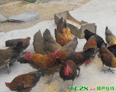 彭水苗家土鸡