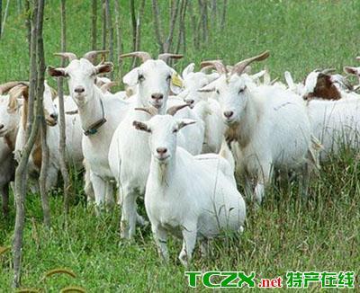 合川白山羊
