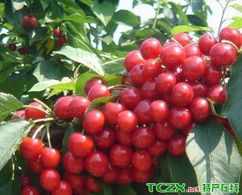 黑山谷樱桃