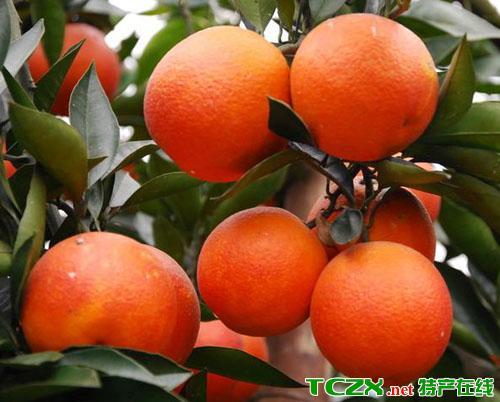 万州玫瑰香橙