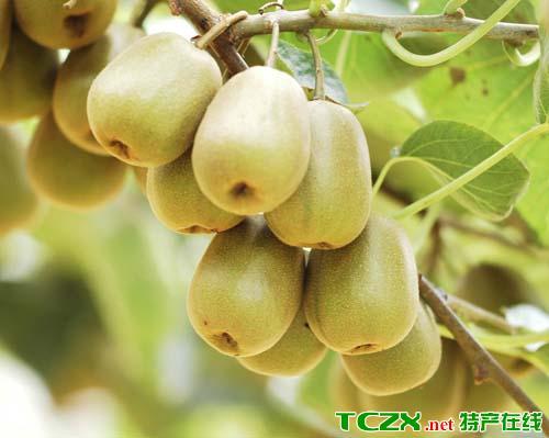 黔江金溪红心猕猴桃