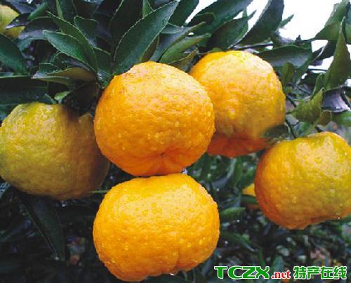 晚熟桔橙清见