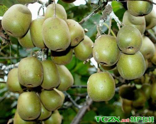 秀山猕猴桃
