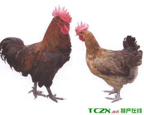 石棉草科鸡
