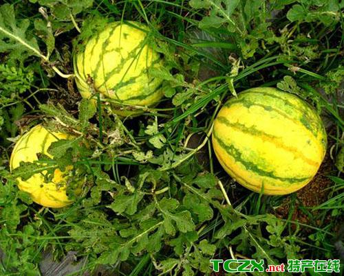 凉都峡谷香瓜