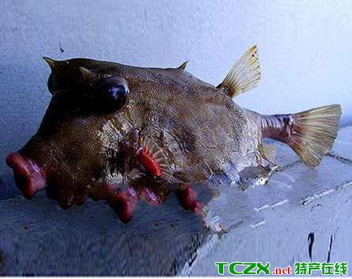 楠木渡猪嘴鱼