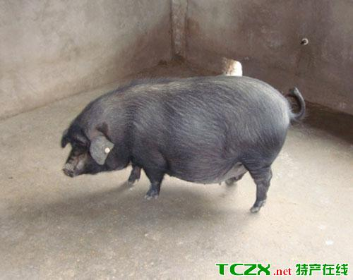 江口萝卜猪