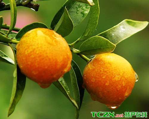 惠水金钱橘