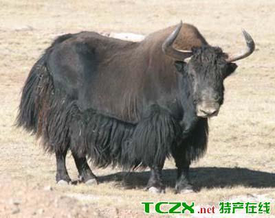 噶尔野牦牛