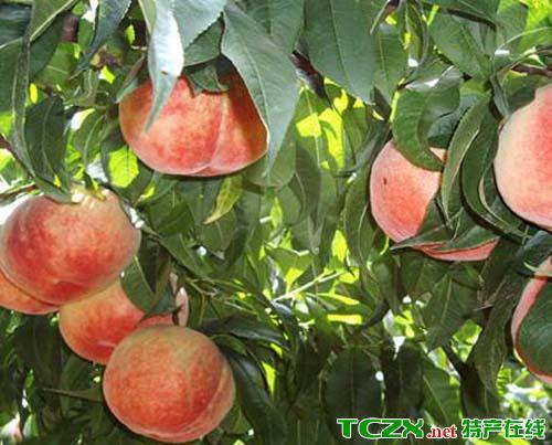 孟姜红甜桃