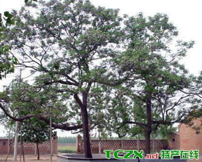 兴平苦楝树