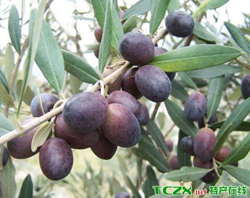 甘肃油橄榄
