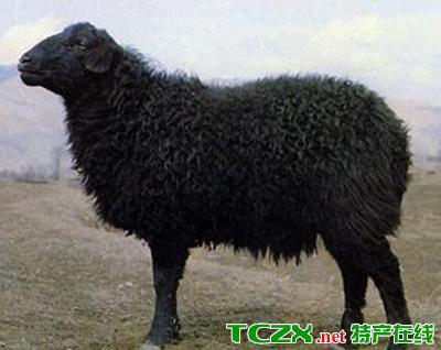 岷县黑紫羔羊