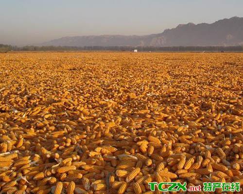 张掖玉米种子