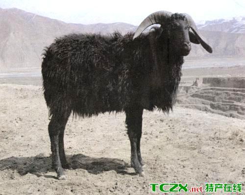 岷县黑裘皮羊