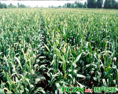景泰玉米制种