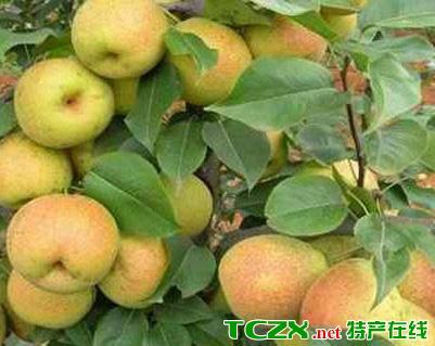 礼县八盘梨