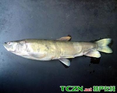 都兰花斑裸鲤
