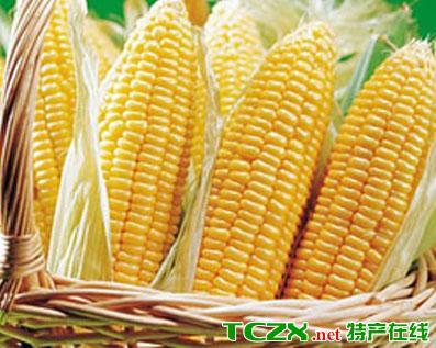 海东早熟玉米