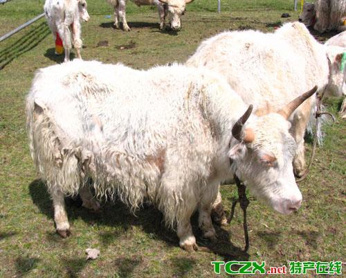 门源白牦牛
