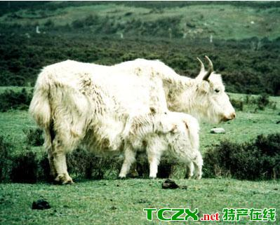 互助白牦牛