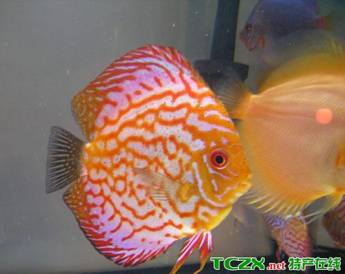 青铜峡鸽子鱼