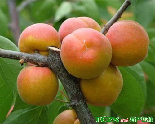 灵武玉黄杏