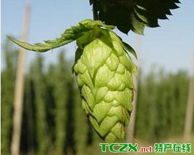 宁夏啤酒花