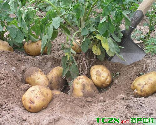 海原马铃薯