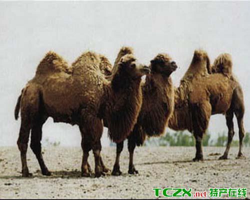 双峰野骆驼