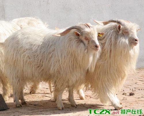 沙雅塔克拉玛干绒山羊