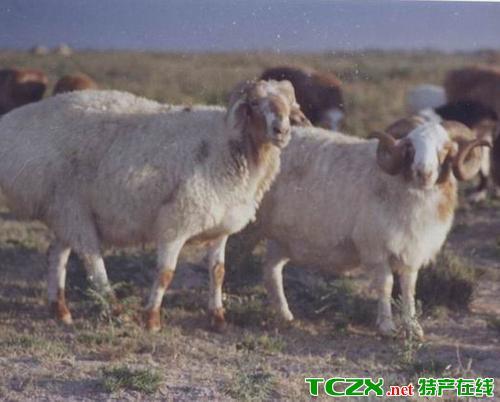 福海县大尾羊