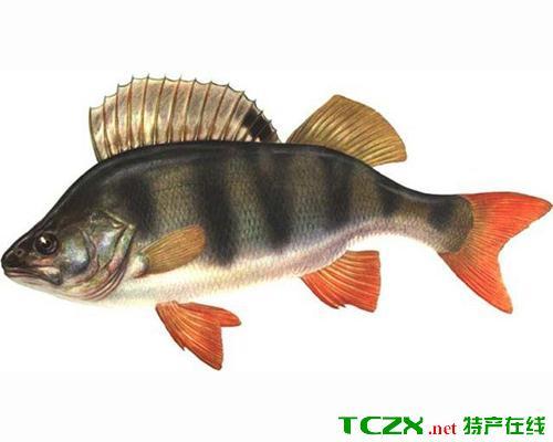 乌伦古湖河鲈