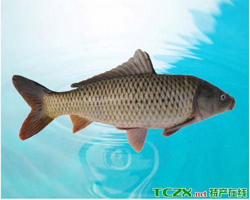 乌伦古湖鲤