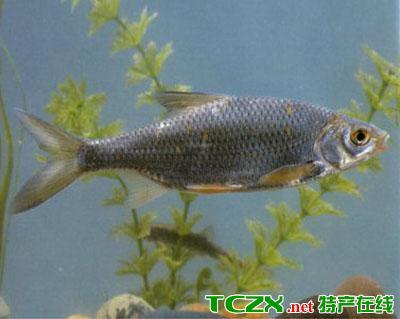 乌伦古湖拟鲤