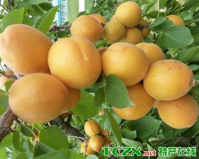 吉木萨尔鲜食杏