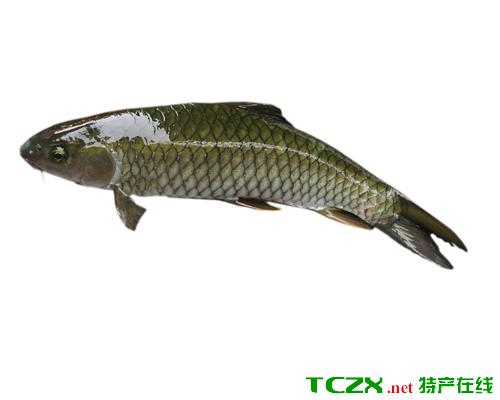 小海子草鱼