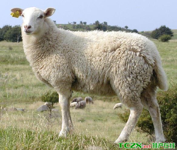 内蒙古半细毛羊