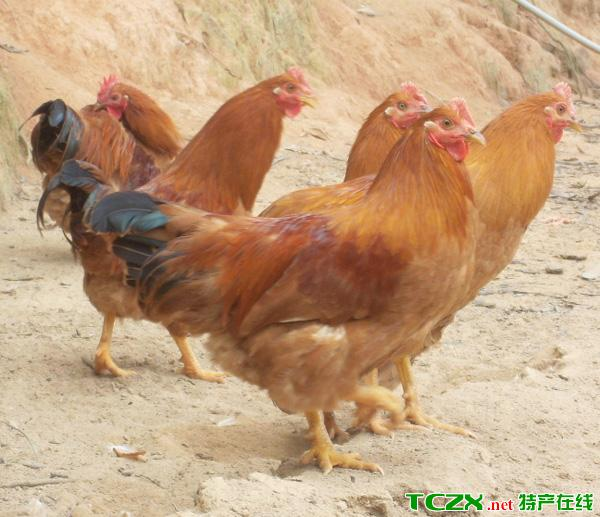 玉林三黄鸡