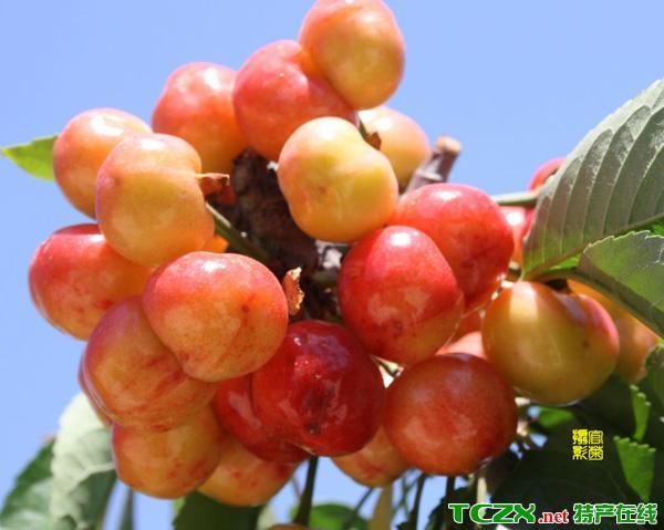 十三陵镇樱桃