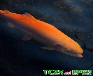 怀柔虹鳟鱼