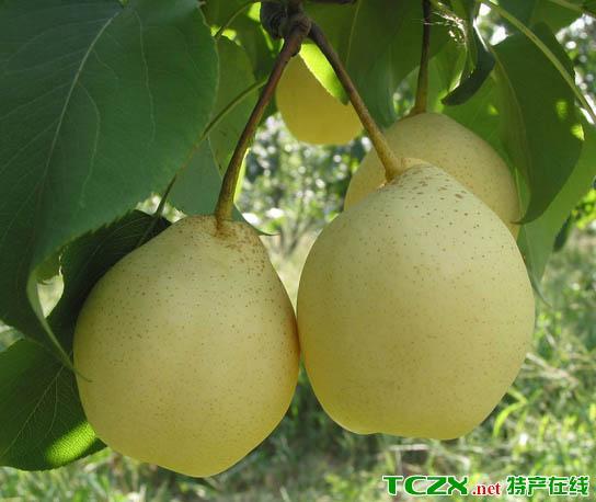 黄土坎鸭梨