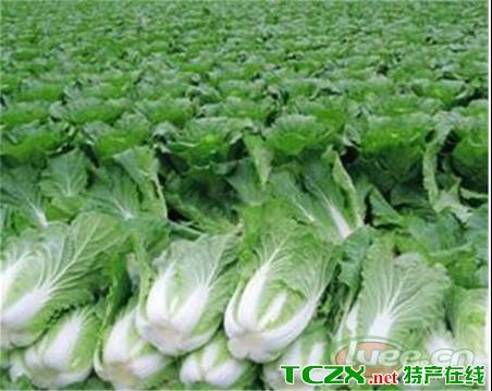 青麻叶大白菜