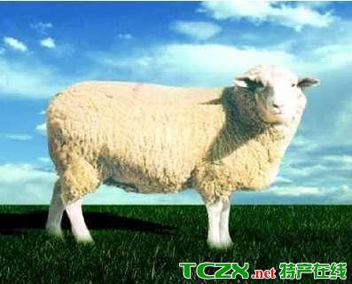 白头萨福克羊