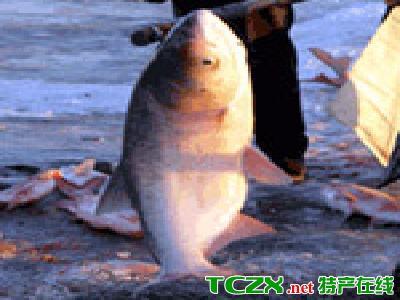 查干湖胖头鱼
