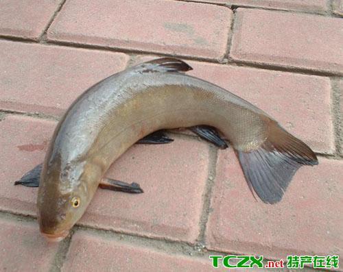 扬中丁贵鱼