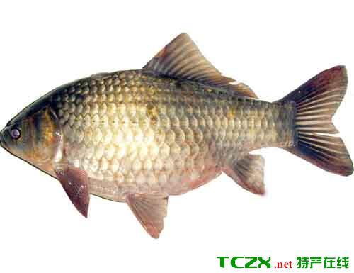 乌背金鳞鲫鱼