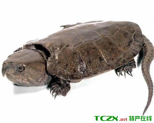 井冈山平胸龟