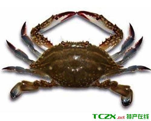昌邑梭子蟹